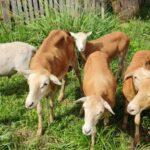 Ventus- La integración de ganadería y energías renovables
